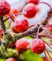 Crabapple Branches-red