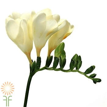 cream-wholesale freesia-