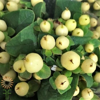 wholesale flowers | Hypericum -cream