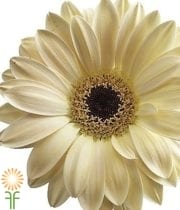 Cream Gerberas (10 Stems)
