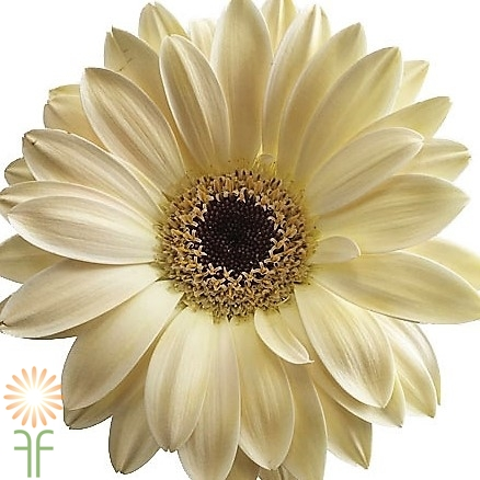 cream=wholesale gerbera_daisy