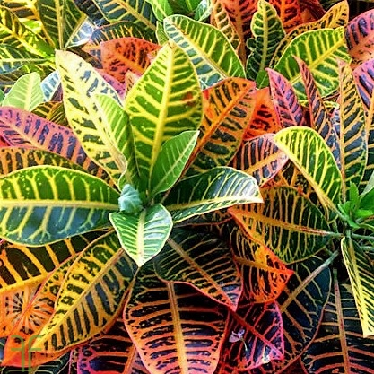 croton-leaves