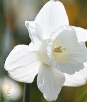 White Daffodils, Large