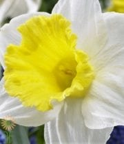 White And Yellow Daffodils, Large