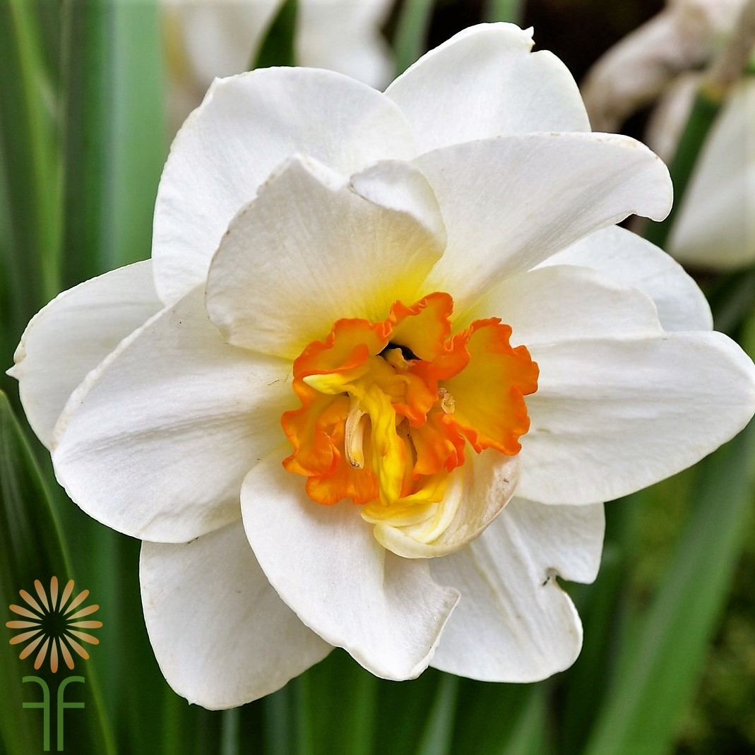 Buy Beautiful Fresh White Daffodil Flowers easily online!