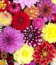 Wholesale Dahlia Assortment