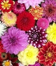 Dahlias, Field-assorted
