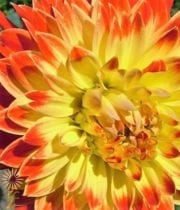 Dahlias, Field-yellow/orange