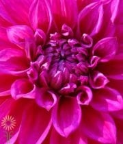 Hot Pink Field Dahlias