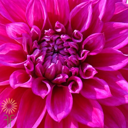 Hot Pink Dahlia Flowers - Dahlias - Types of Flowers ... |Hot Pink Dahlia Flowers
