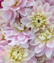Dahlias, Field-light Pink