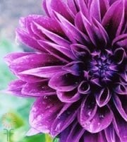Purple Field Dahlias