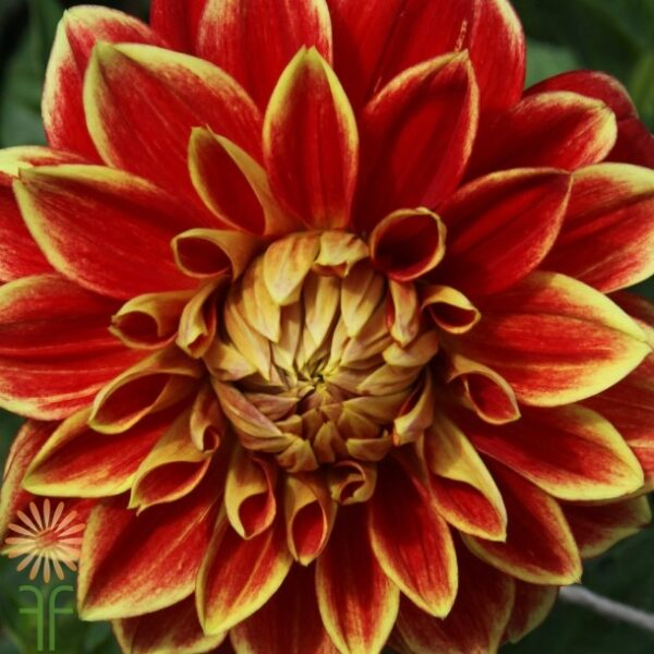 dahlia-red-yellow