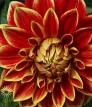 Dahlias, Field-red/yellow