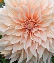 Dahlias, Cafe Au Lait-blush