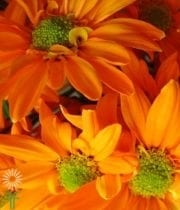 Mums, Spray-Daisy-orange