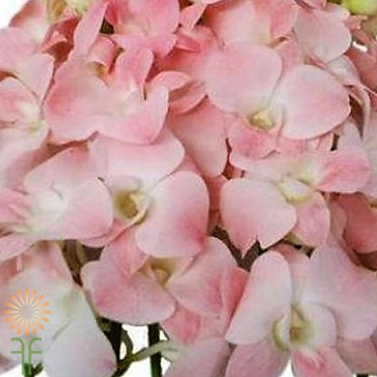 wholesale flowers | orchid- dendrobium pink
