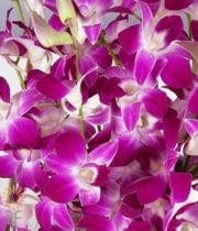 Purple And White Bombay Dendrobium Orchids