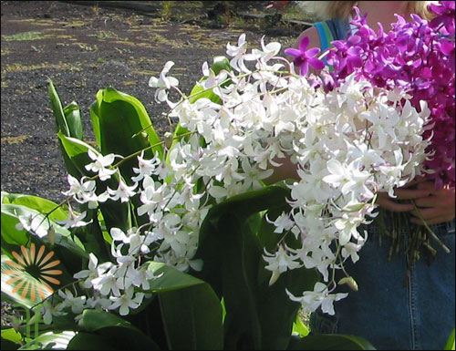wholesale flowers | orchid- dendrobium assorted