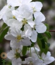 Branch, Flowering Dogwood-white