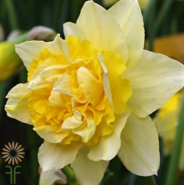 Buy Gorgeous Fresh Double Yellow Daffodil Flowers easily online!
