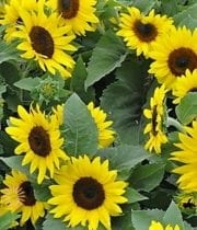 Yellow Sunflowers, Mini