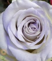 Rose, S.A.-Early Grey 50CM-light Lavender