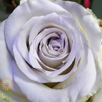 wholesale flowers | rose early grey