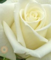 Cream Escimo Sweetheart Roses