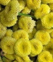 Yellow Button Feverfew