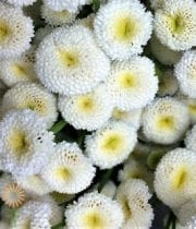 Feverfew, Button-white