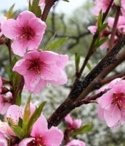 Pink Flowering Peach Branches