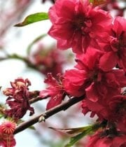 Red Flowering Peach Branches