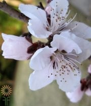 White Flowering Peach Branches