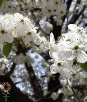White Flowering Plum Branches