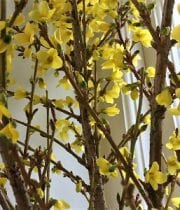 Yellow Flowering Forsythia Branch