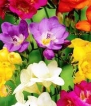 Freesia-assorted