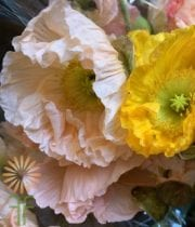 Poppies, Icelandic-yellow/orange