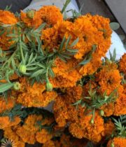 Orange French Marigolds