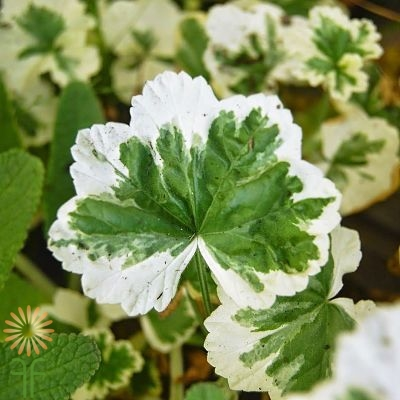 wholesale geranium variegated