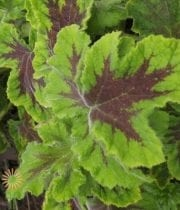Chocolate Geranium (scented)