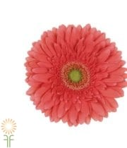 Coral Gerberas, Mini (10 Stems)