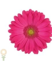 Gerberas, Mini-hot Pink (10 Stems)