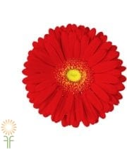Red Gerberas (70 Stems)
