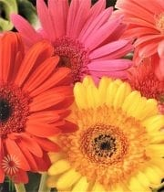 Assorted Gerberas, 70 Stems