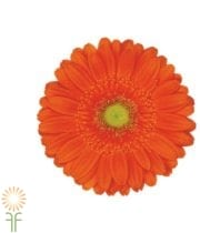 Orange Gerberas (10 Stems)