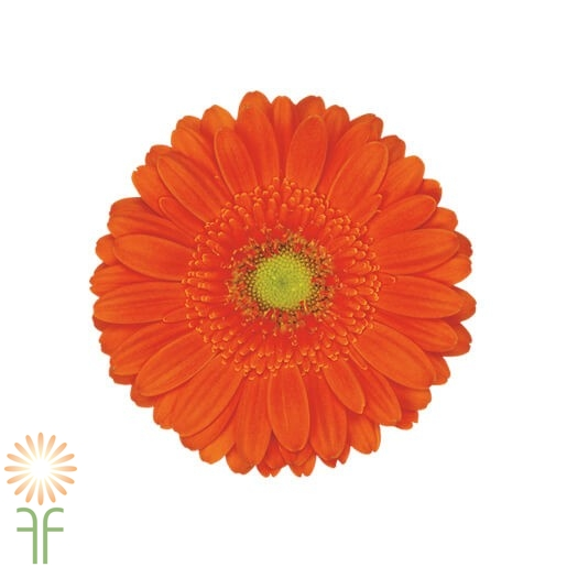 wholesale gerbera_daisy orange