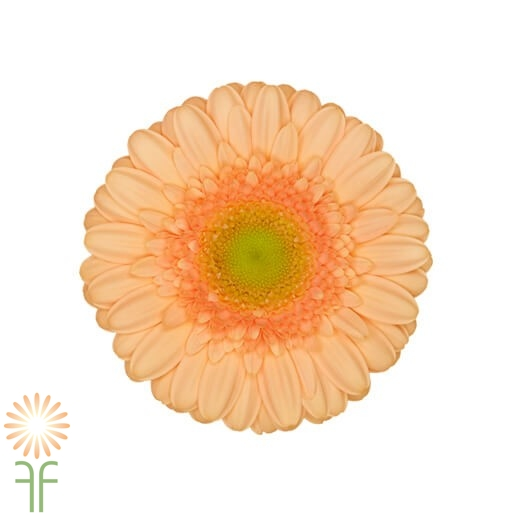 wholesale gerbera_daisy peach