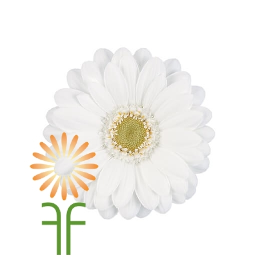 wholesale gerbera_daisy white