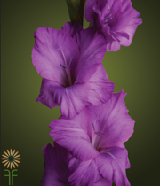 Gladiolus-purple